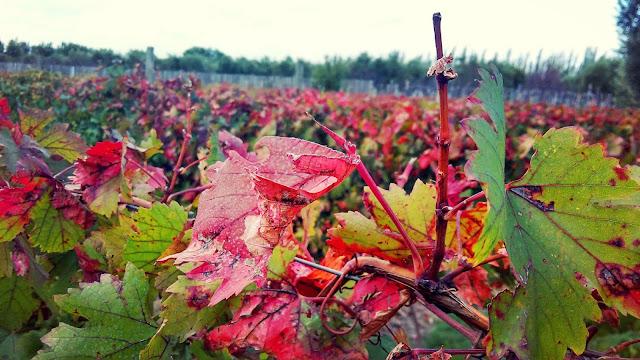Parreiras com as cores do Outono na Vinícola El Enemigo.