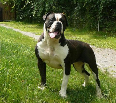 Black American Bulldog
