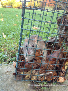 small rat in safe trap