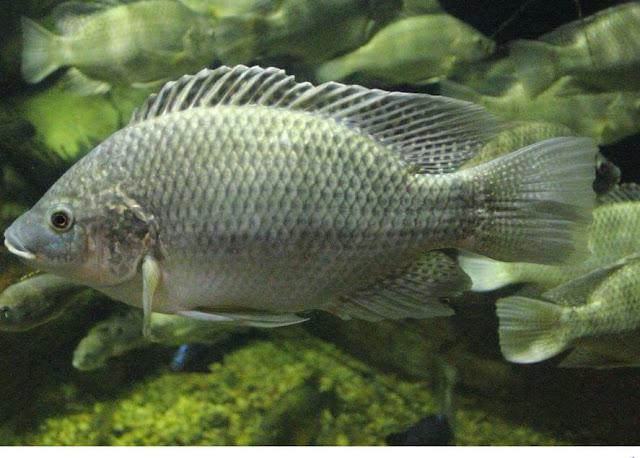 budidaya ikan mujaer
