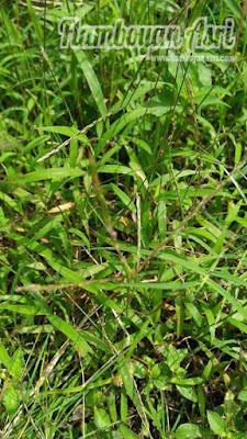 Tukang taman Surabaya Jual Rumput Lamuran tol