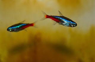 ikan hias neon tetra