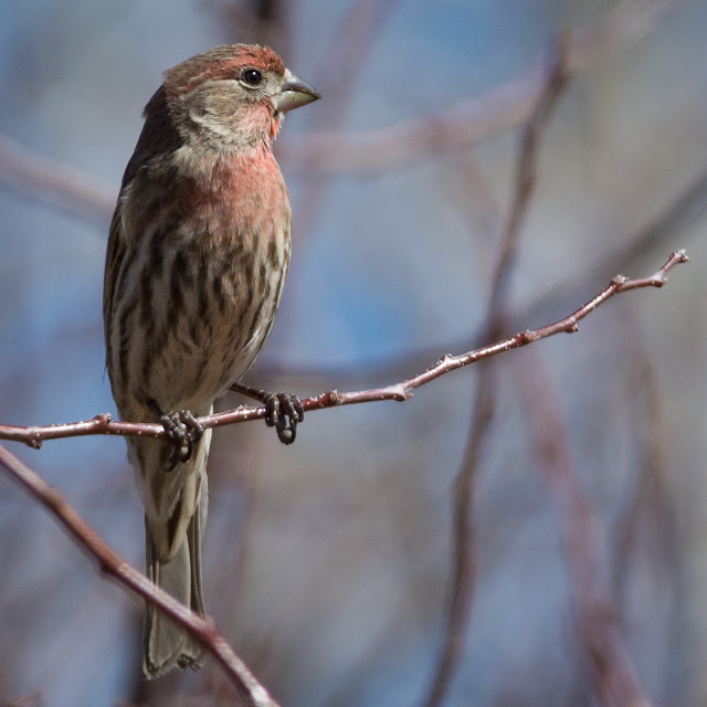 Male House Finch, Deer Creek