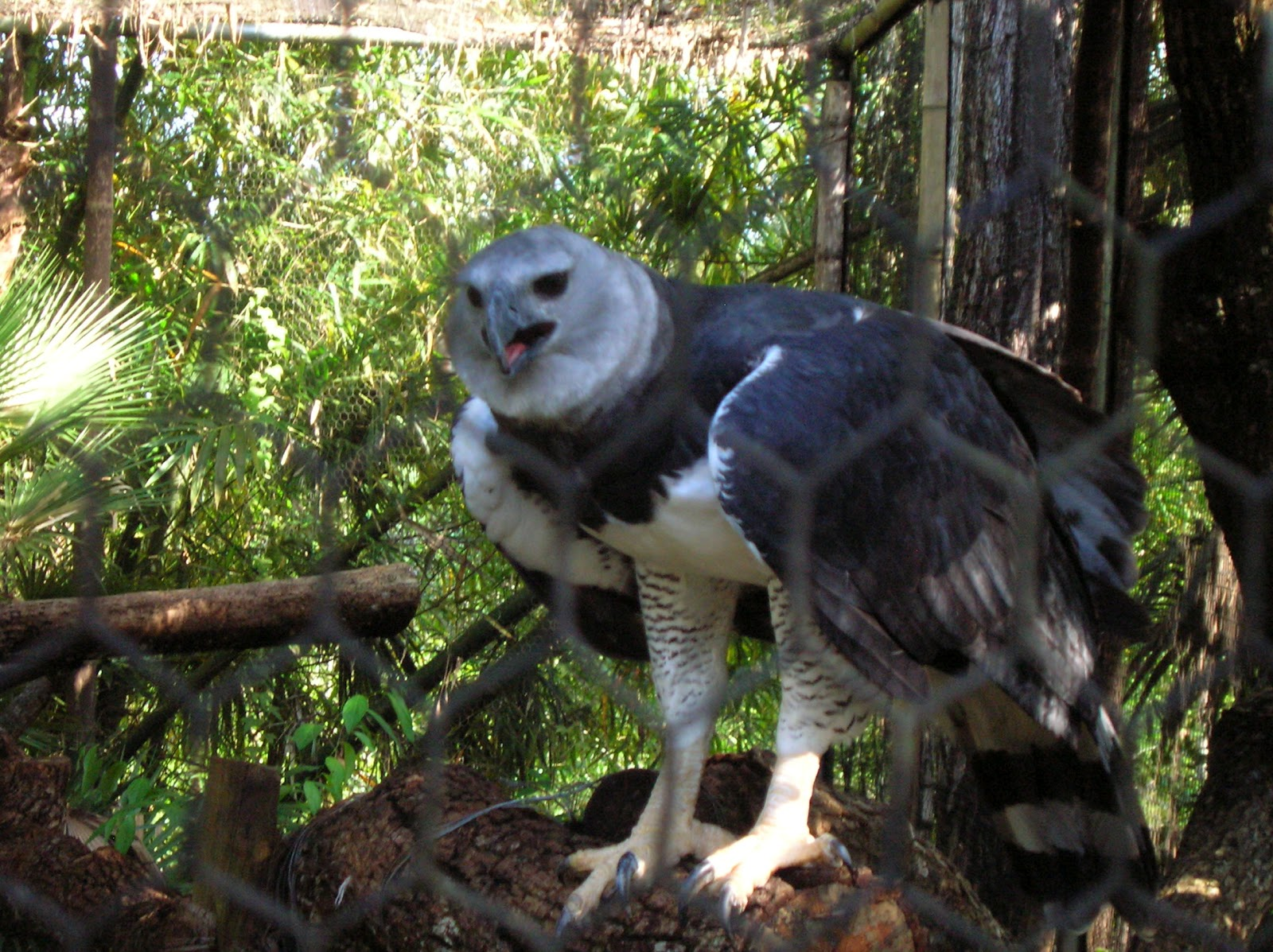 The gallery for --> Harpy Eagle Monkey