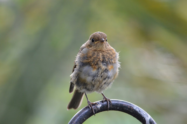 Picture of brown coloured young Robin. Junior Juvenile Robin