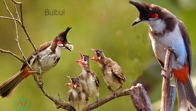 bulbul bird, বুলবুলি