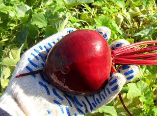 Стараюсь выращивать корнеплоды свеклы не слишком крупные