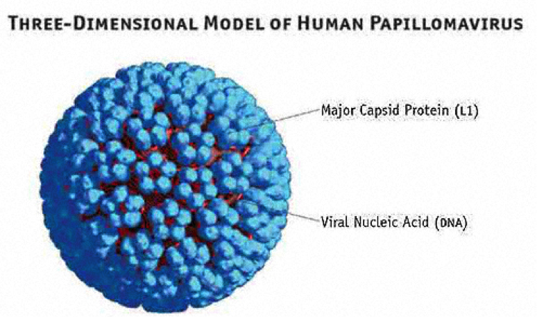Figure 1 General Structure Of HPV Showing L1 Proteins And Viral DNA 6