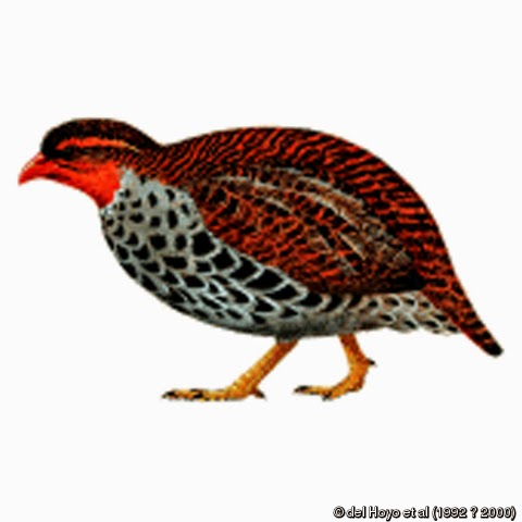 Udzungwa Forest-partridge