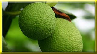 gambar buah sukun, timbul
