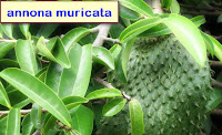 Cancer Medicine use Leaves of the soursop (Annona muricata L)