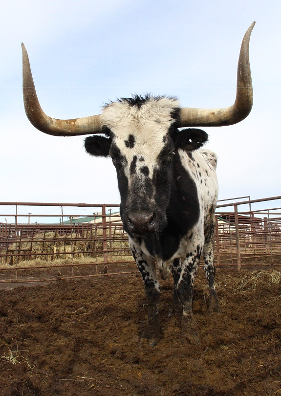 Historic Longhorn Occurs At Valentine Livestock Market