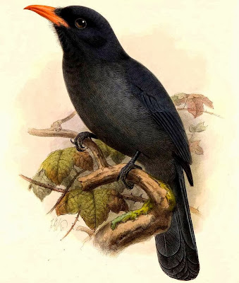 Black fronted Nunbird