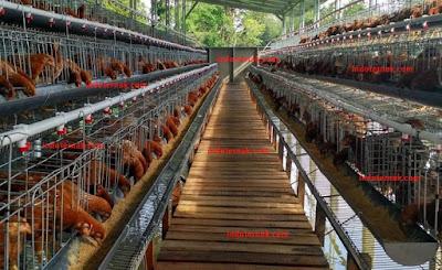 Rahasia Ayam Petelur Afkir Bisa Produksi Telur Lagi