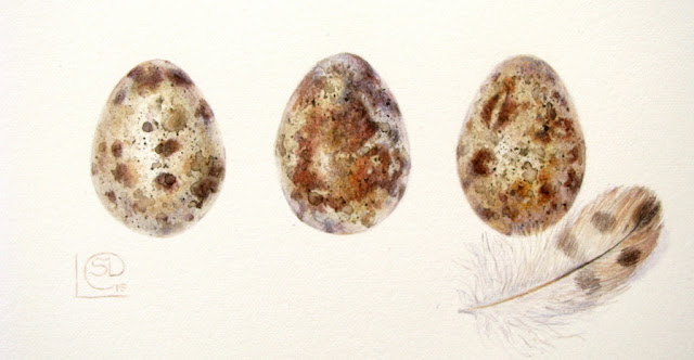 Great Eggspectations- watercolour painting of 3 quails eggs and a feather by Shevaun Doherty