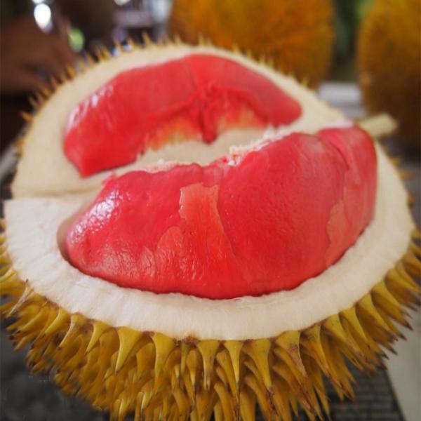 Durian Merah, Khasiat Durian Merah, Manfaat Durian Merah
