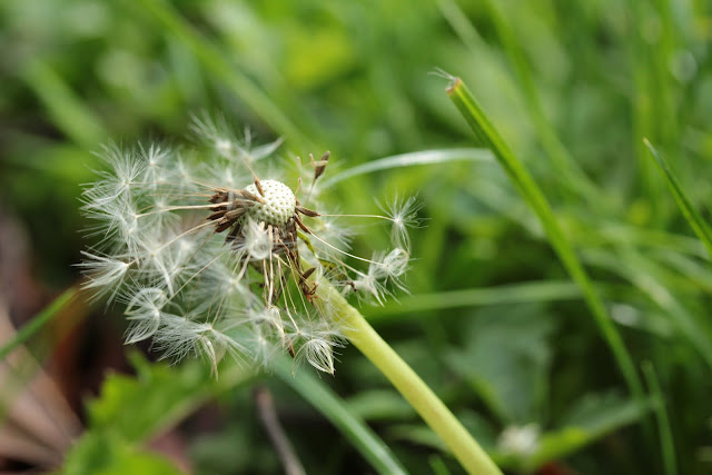 photograph of remaining seeds on a dandelion. photo by Corina Duyn