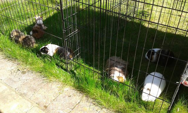 guinea pigs giraffe grass sunshine
