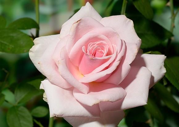 Savoy Hotel сорт розы купить саженцы в Минске фото