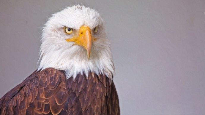 Wallpaper: Bald Eagle Portrait