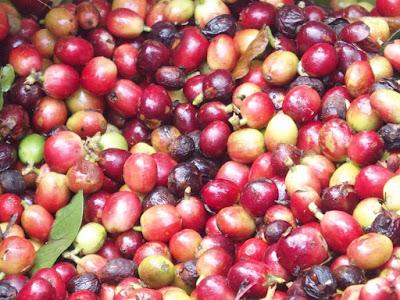 Giá cà phê hôm nay giảm quá sâu khiến thị trường đảo lộn