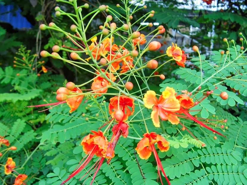 Manfaat tumbuhan Kembang Merak