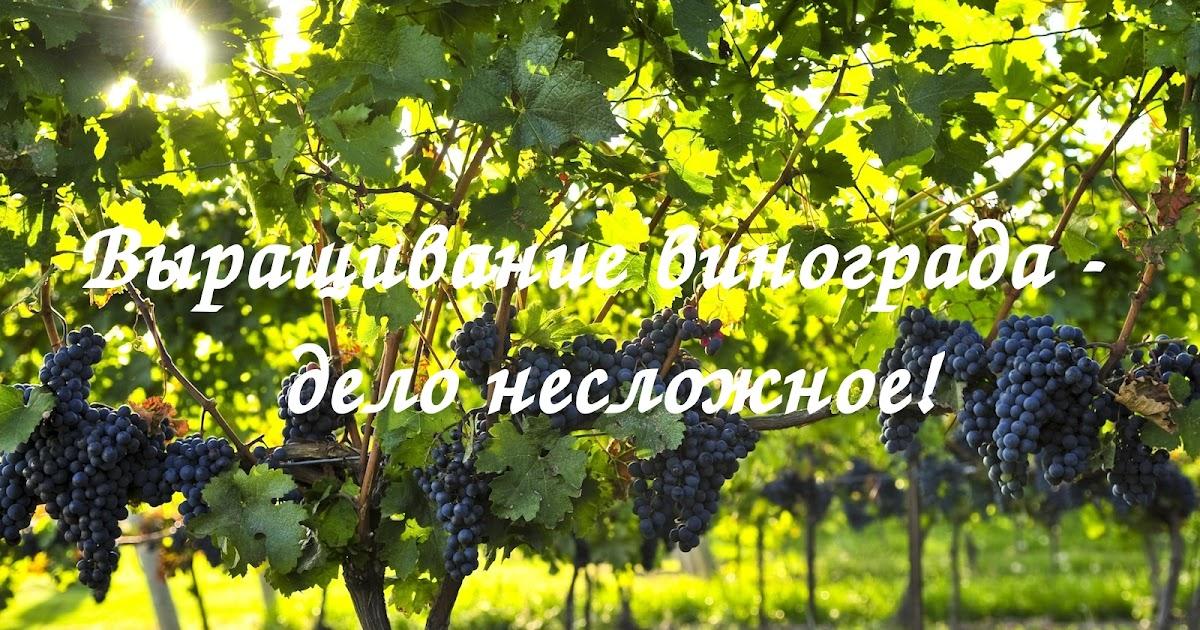 Лучший виноград для Урала- хороший сорт для начинающих: описание