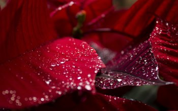 Wallpaper: Red. Leaves. Plant. Water Drops