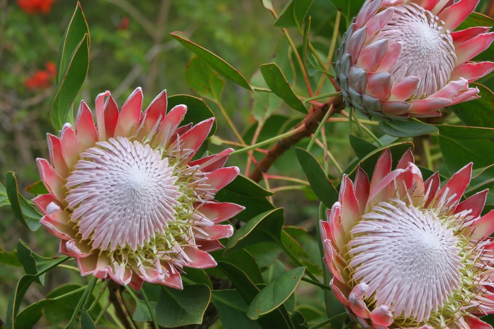 Plant World Protea cynaroides
