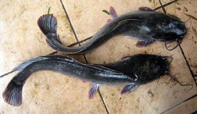 ikan lele lokal
