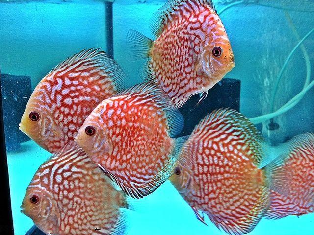 Gambar dan Foto Ikan Discus