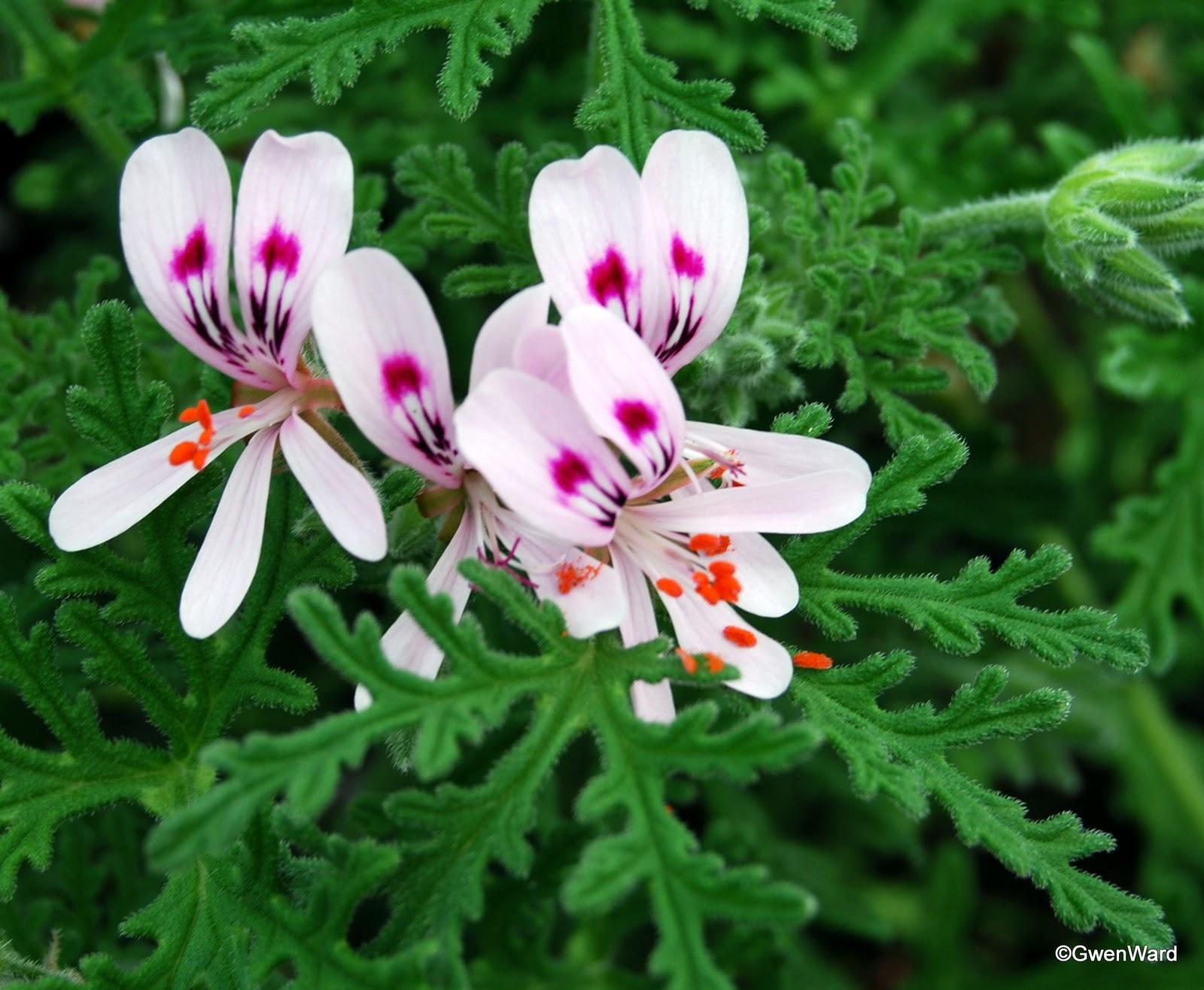 Perfect Pelargoniums Crowfoot Rose Scented Pelargonium