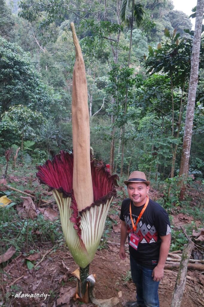 Rafflesia Arnoldii Bukan Bunga Bangkai Alamasedy