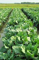 kunci sukses,budidaya tanaman,peluang usaha,usaha pertanian,usaha tani,petani,lmga agro