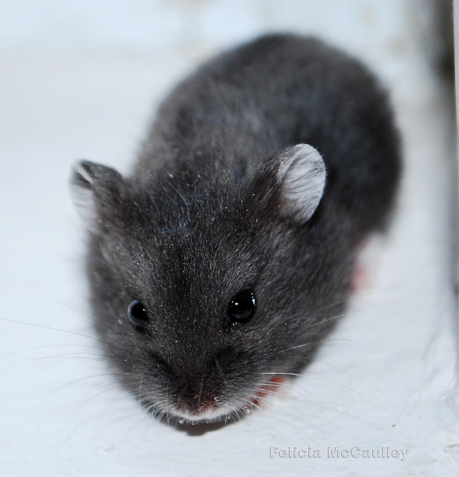 Philadelphia Hamster: Campbell's Dwarf Hamsters Available Now!  Philadelphia Ha...