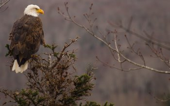 Wallpaper: Bird of Prey. Bald Eagle