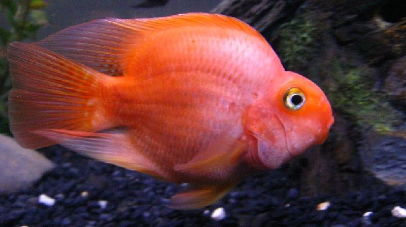 Gambar Dan Foto Harga Ikan Parrot, Asal Usul Dan Cara Merawatnya