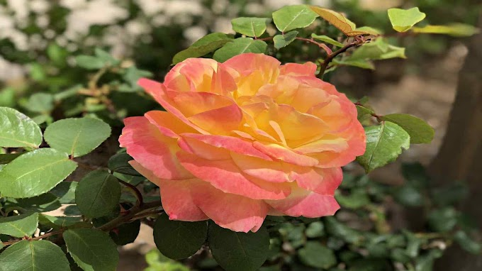 Rosal Grandiflora - Especial Día De La Madre
