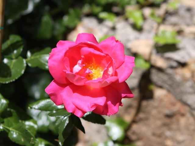 Spring gardening - rose