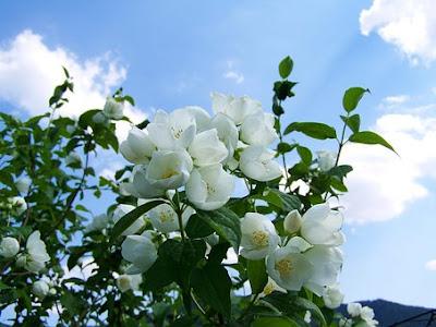 bunga melati,manfaat bunga melati,khasiat bunga melati
