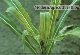 ugonjwa-wa-maize-streak-virus