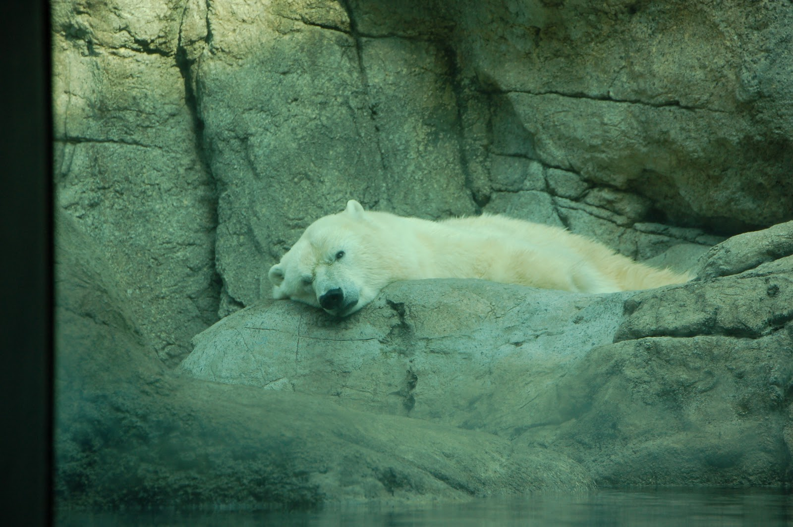 Polar Bear Hibernating Group Picture Image By Tag ...