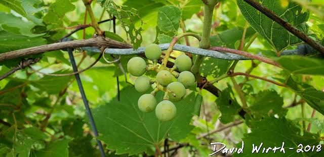 wild grapes, riverbank grapes, wine