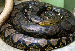 Python reticulated (25,2 kaki)