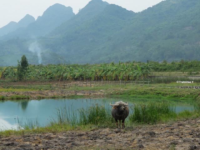 reserve naturelle van long ninh binh paysan buffle