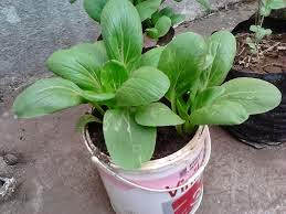 menanam-sayuran-di-pekarangan