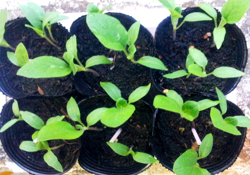 Edible Garden Landscape Growing Aubergine Brinjal Or