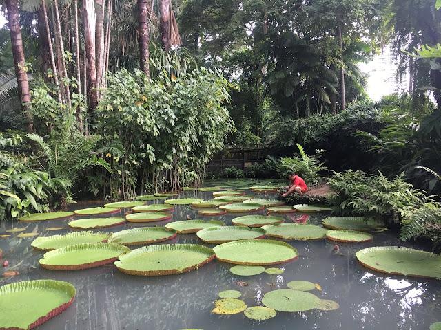 foto com muitas plantas no fundo e vitoria regias boiando no lago