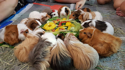 Guinea Pigs Information