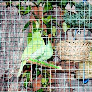 adalah salah satu burung kicau yang banyak digemari oleh para pecinta burung kicau Rajajangkrik-Info Terbaru 2020, Cara Mudah Beternak Burung Cucak Hijau